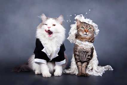 Если свести прямоухую кошку и кота какие будут котята