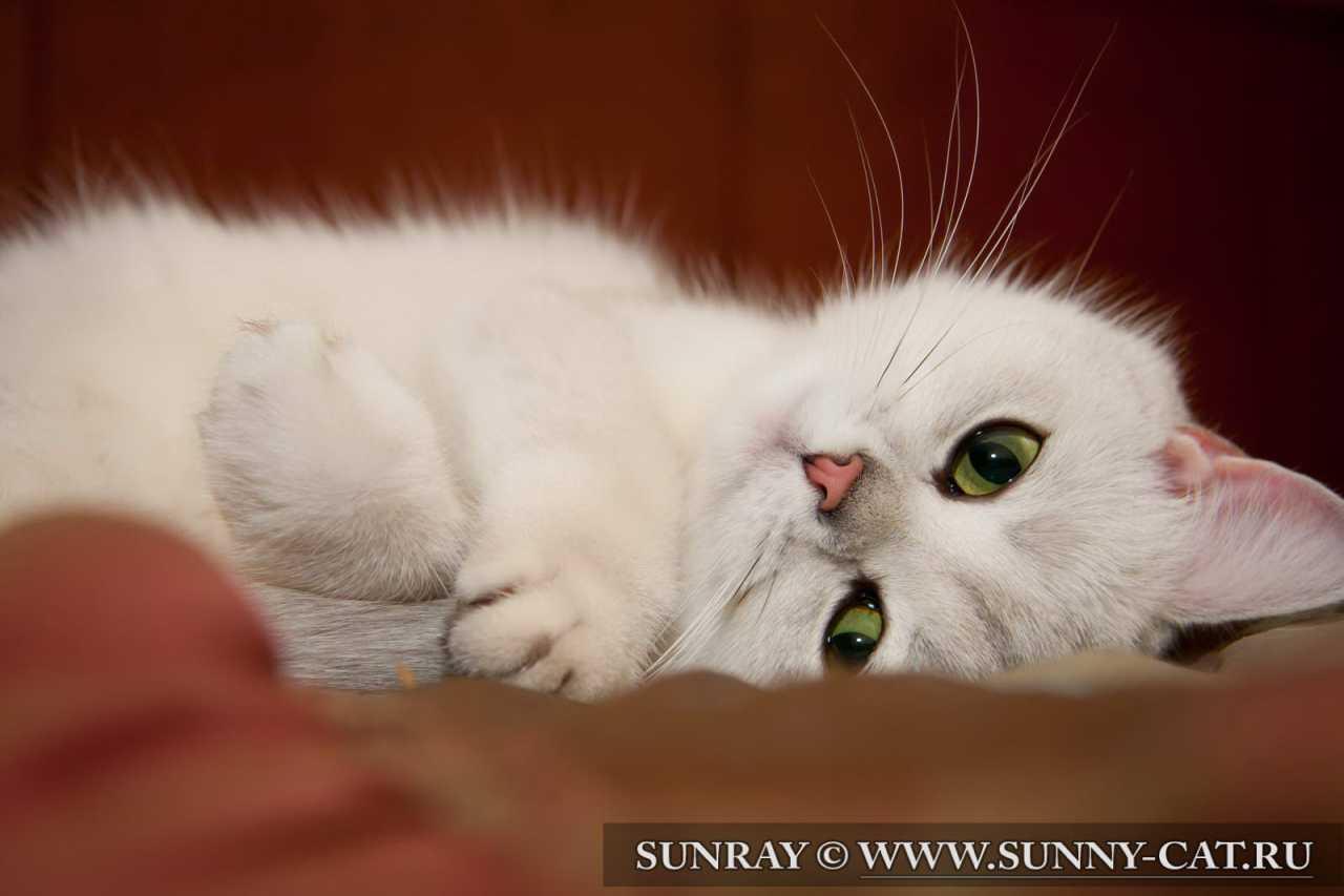 Кошка по кличке Beatris SunRay