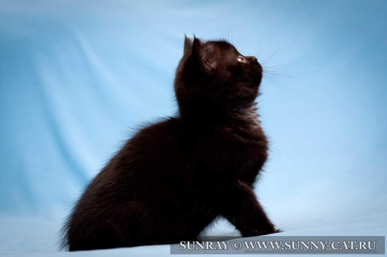 Котенок британский (британец) черный Leyla Night. Фото ...: http://kotikoshka.bigbo.ru/фото-черный-кошки