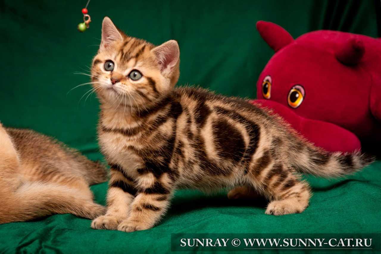 Мраморный окрас британских котят