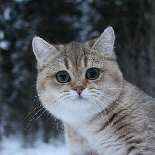 Коты с круглой мордой