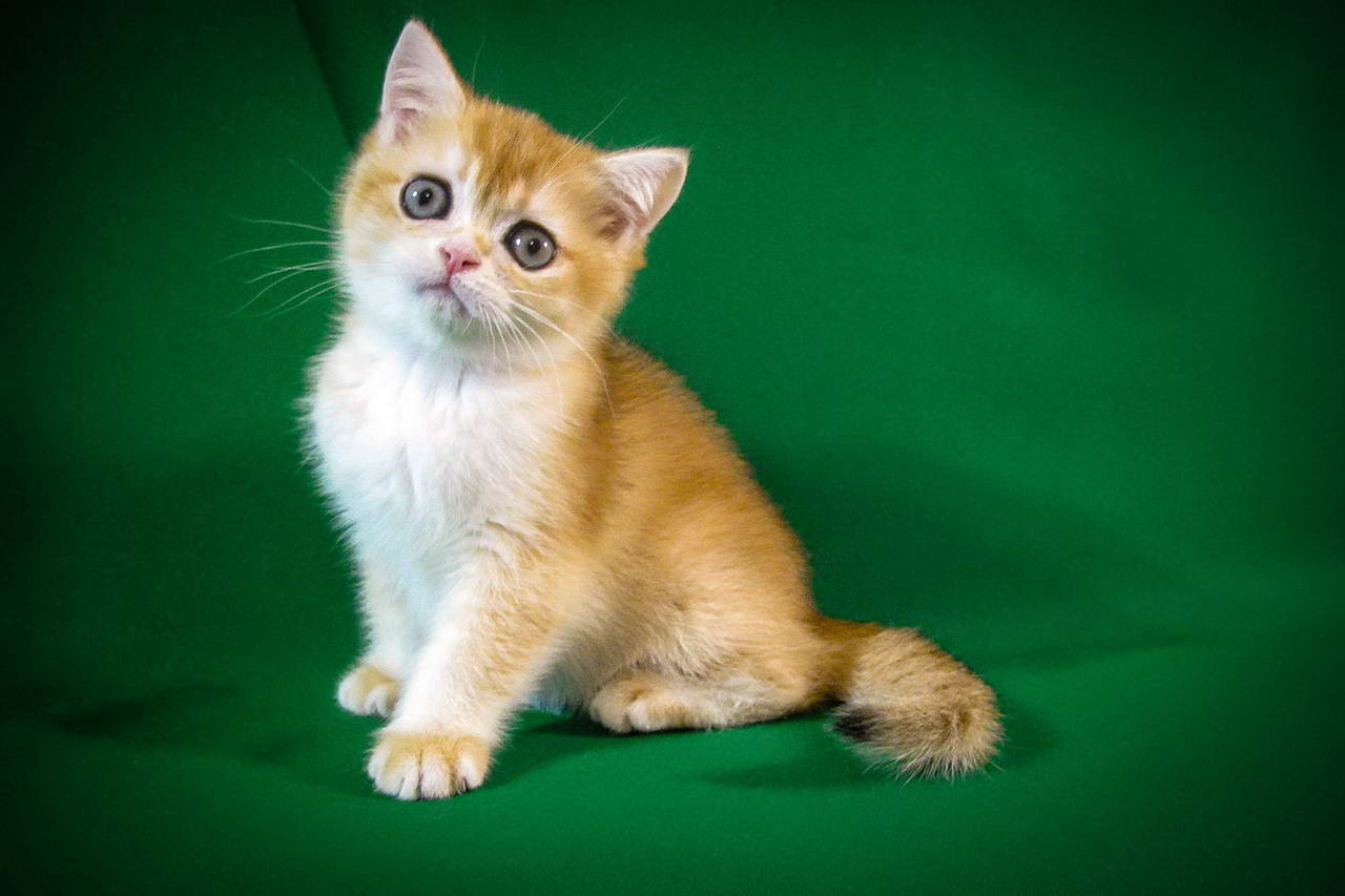 The Male Cat Chess Honey Sunray