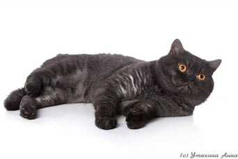 дымчатых фото котов шотландских
