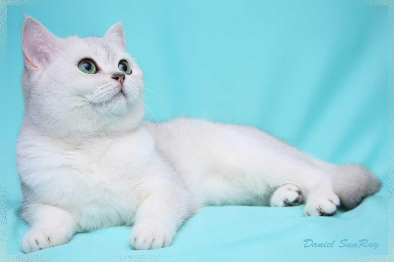 Британская кошка окрас шиншилла фото, британская серебристая шиншилла фото