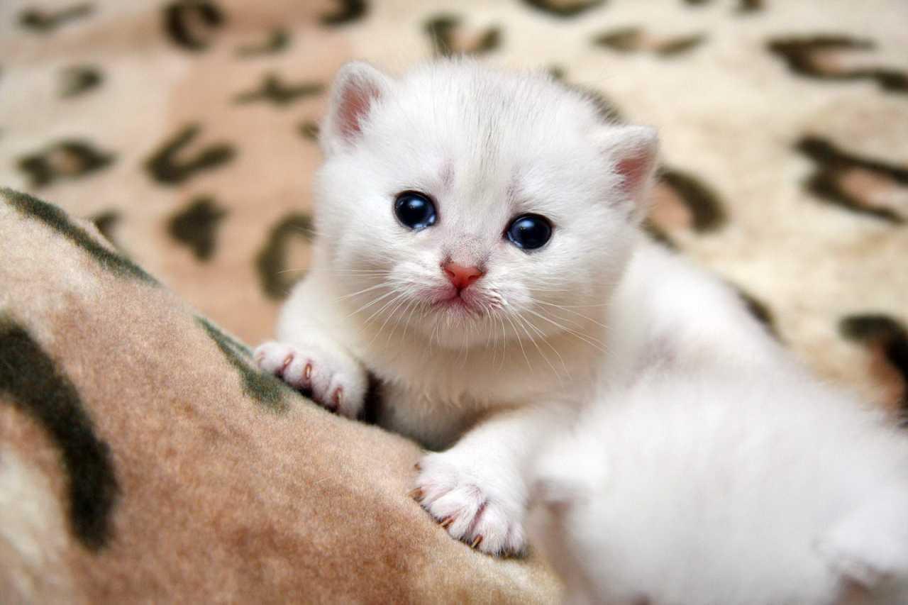 Котенок 4-5 недель