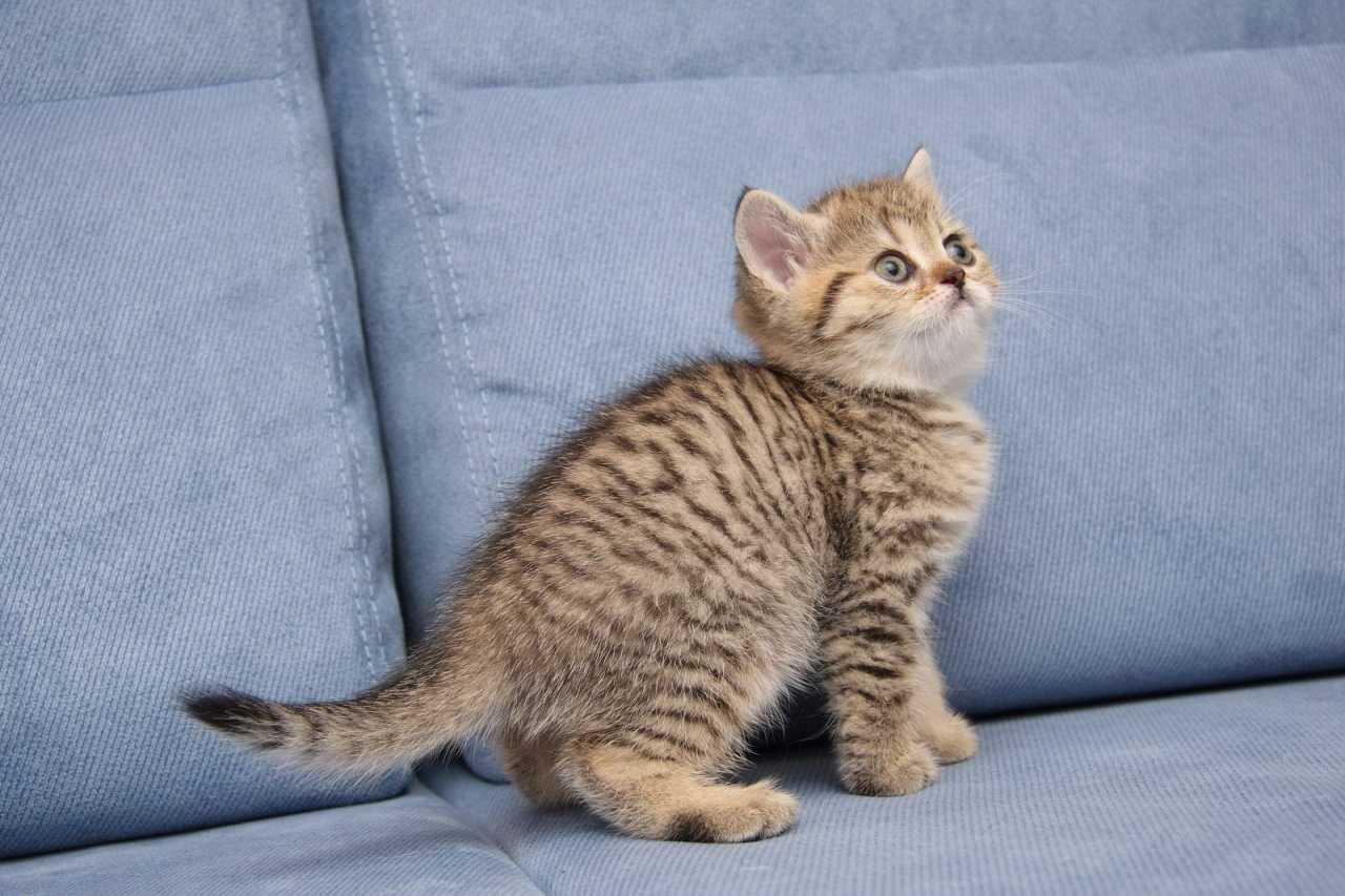 Окрас кота черный тигровый