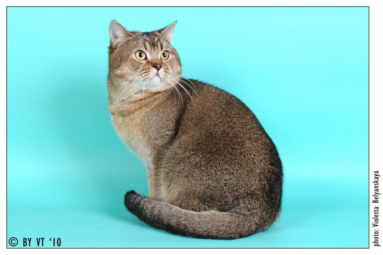 Британский кот по имени Elvis SunRay