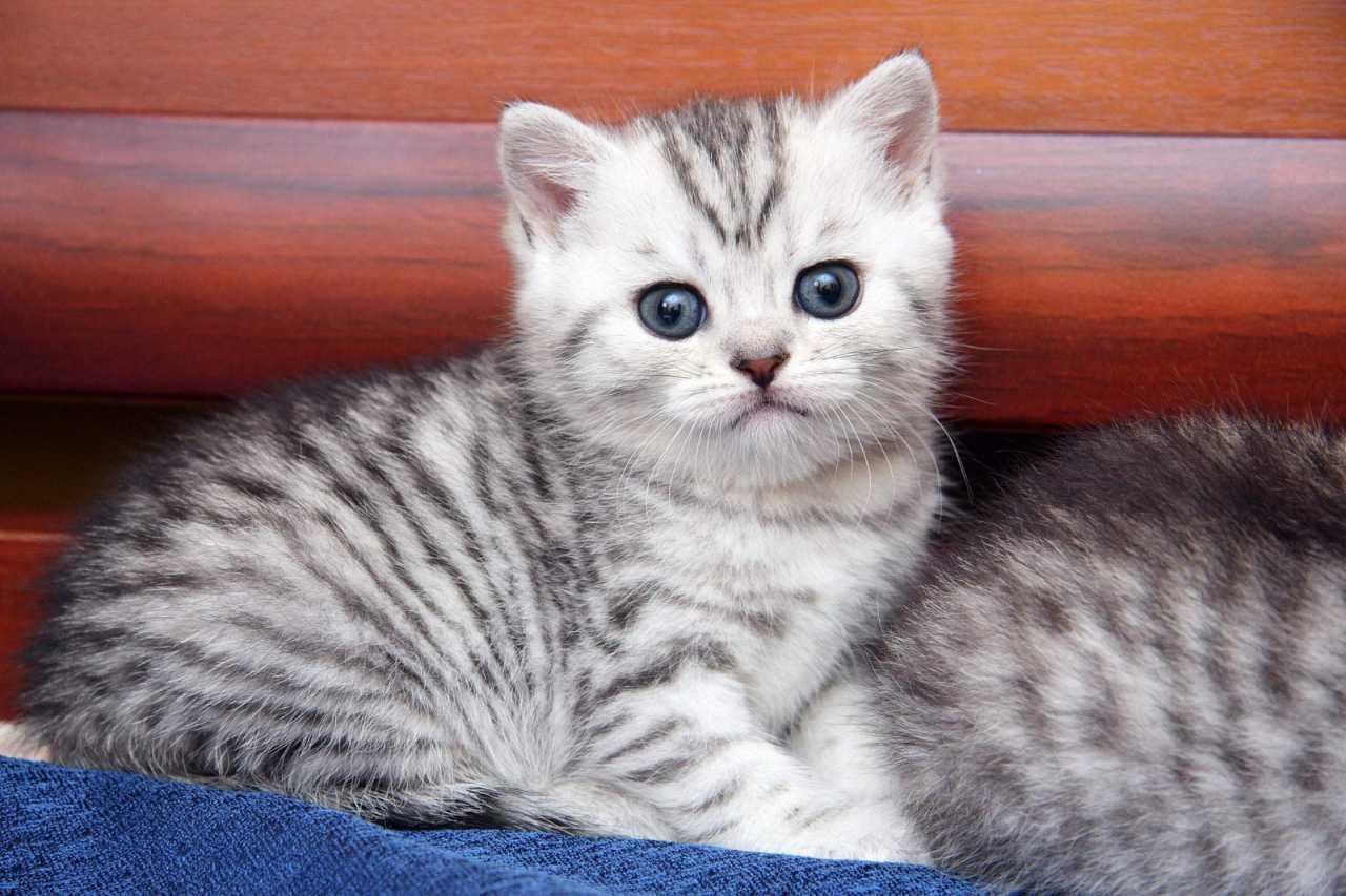 Британский котенок Filadelfia SunRay - черный полосатый окрас на серебре
