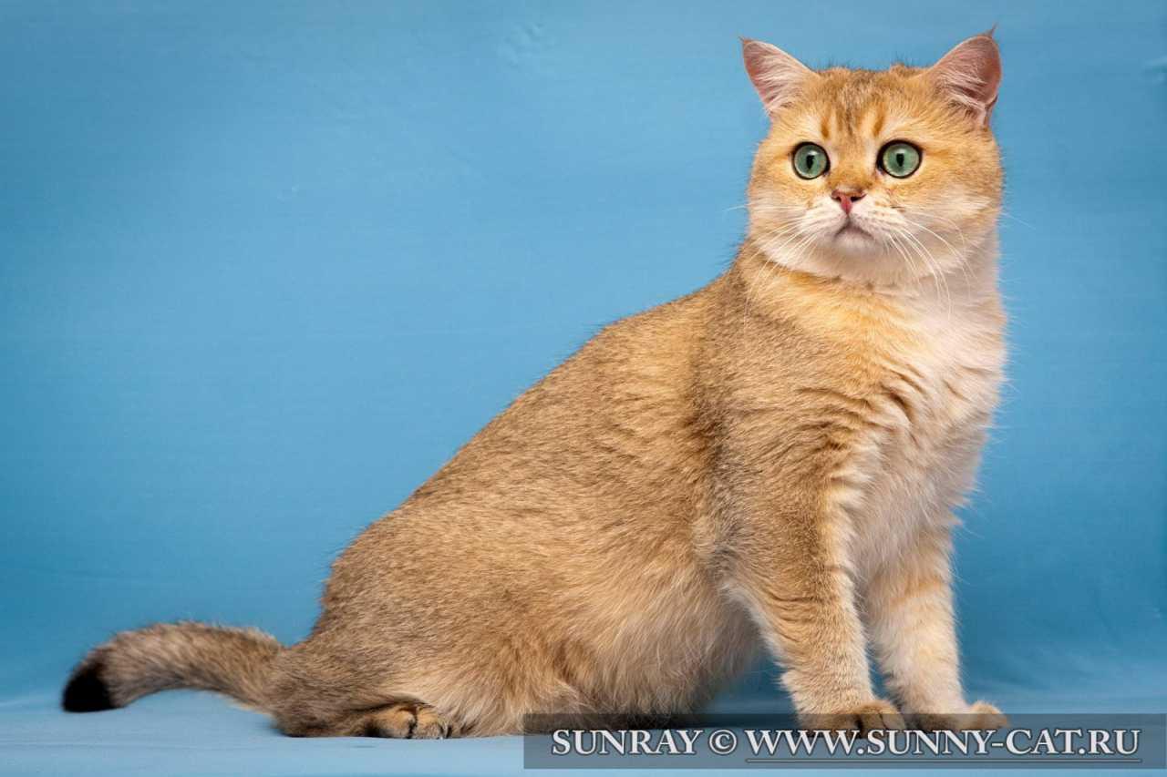 Британский кот золотого тиккированного окраса Golden Garry v.Wahrberg