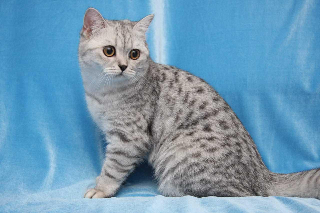 Британская кошка черного пятнистого окрса на серебре Irida SunRay