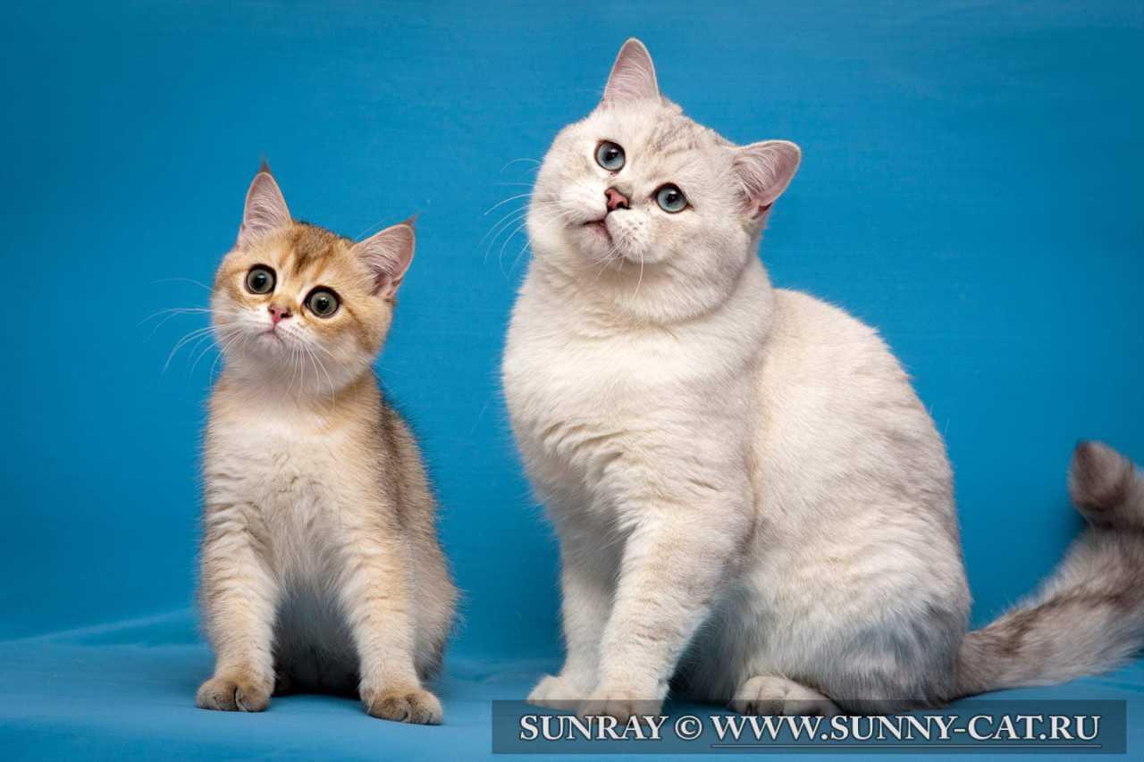 Как должна выглядеть британская кошка?