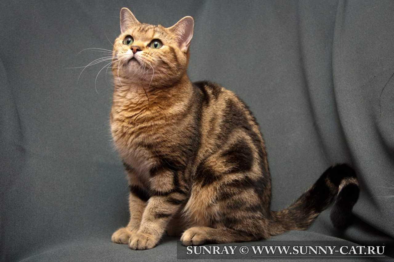 Британская кошка Golden Galaxy No Demetra черный мрамор на золоте