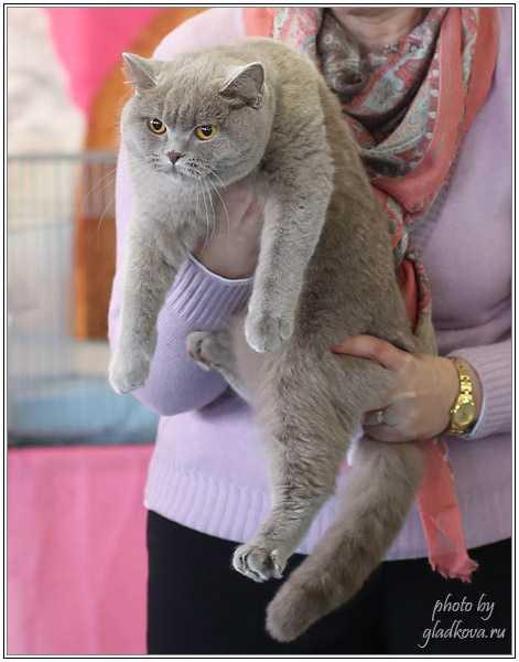 Лиловый Британец. Питомник Ilios Cats.