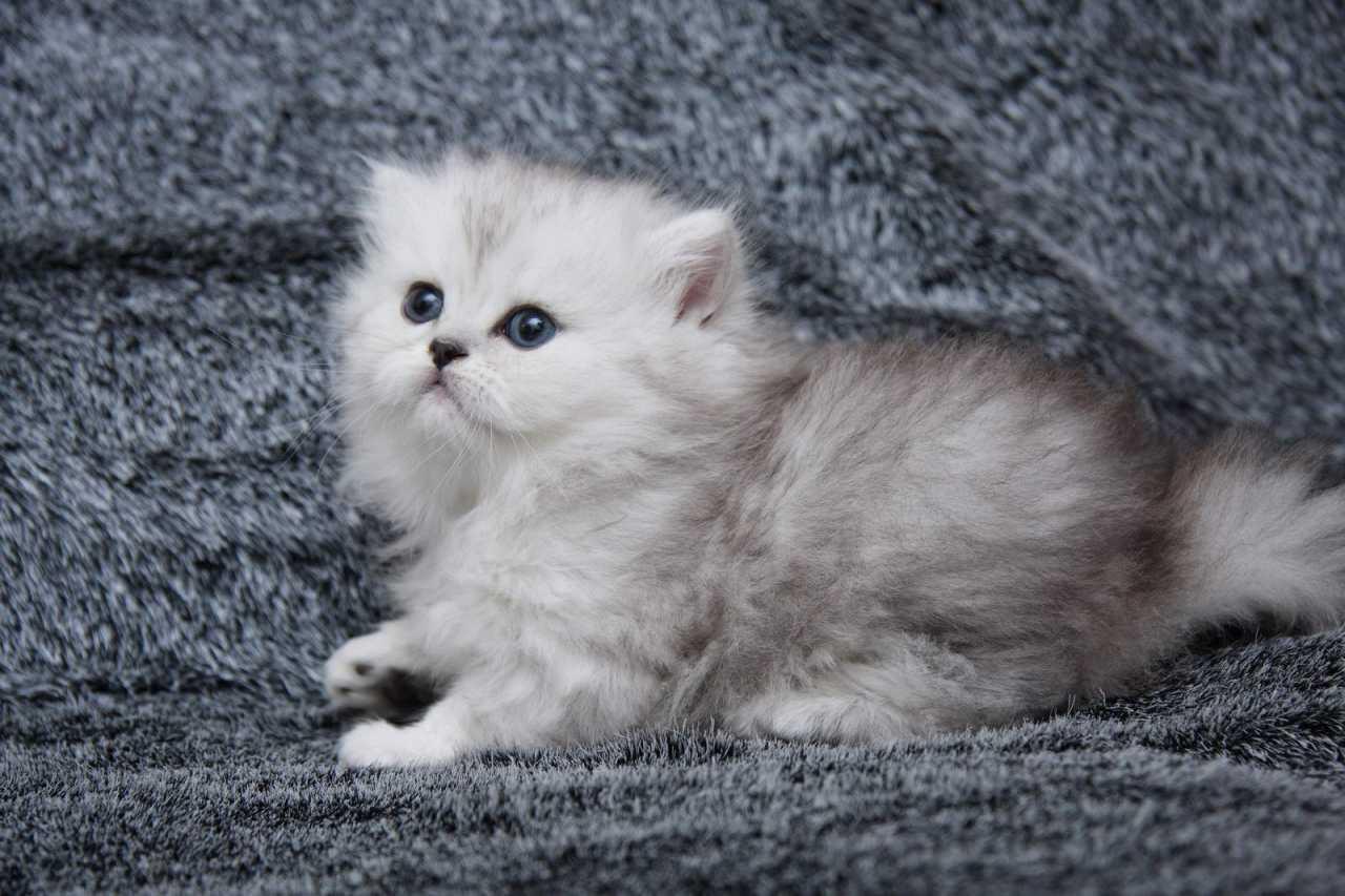 Кошка британская британская шиншилла