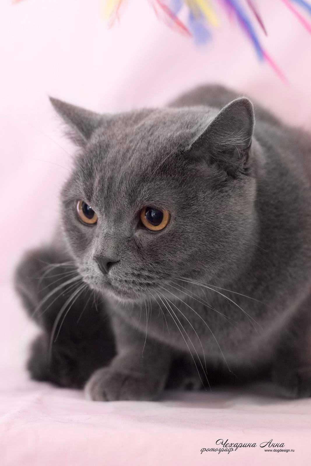Фото как выглядит британская кошка