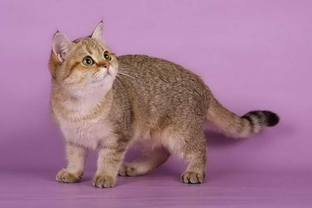 Британская золотая затушеванная кошка Hanny Sweet SunRay