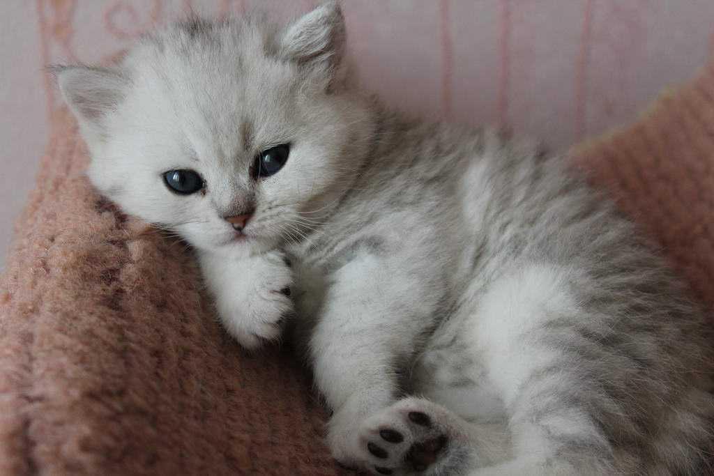 http://www.sunny-cat.ru/datas/bigthumbs/3-britanskij_kotenok_grafiti_001.jpg