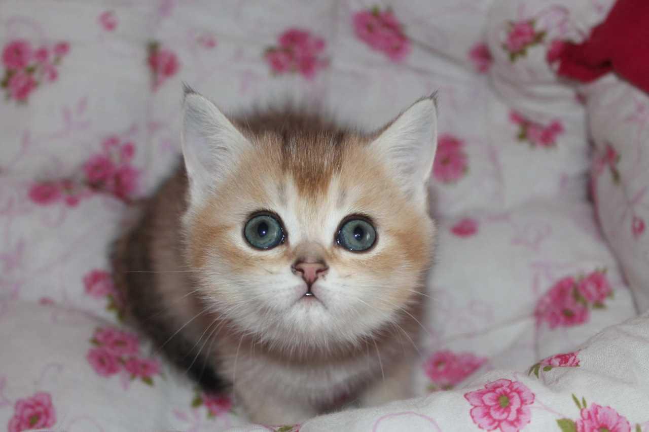 Кошечка Aisha Lordi Brit