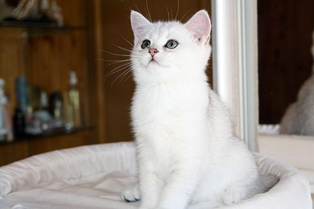 Кошка Elis Glory SunRay