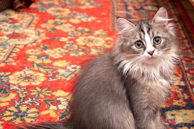 Кошка Helena Sweet