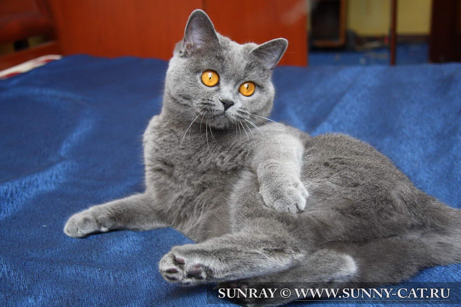 британской кошки голубого окраса