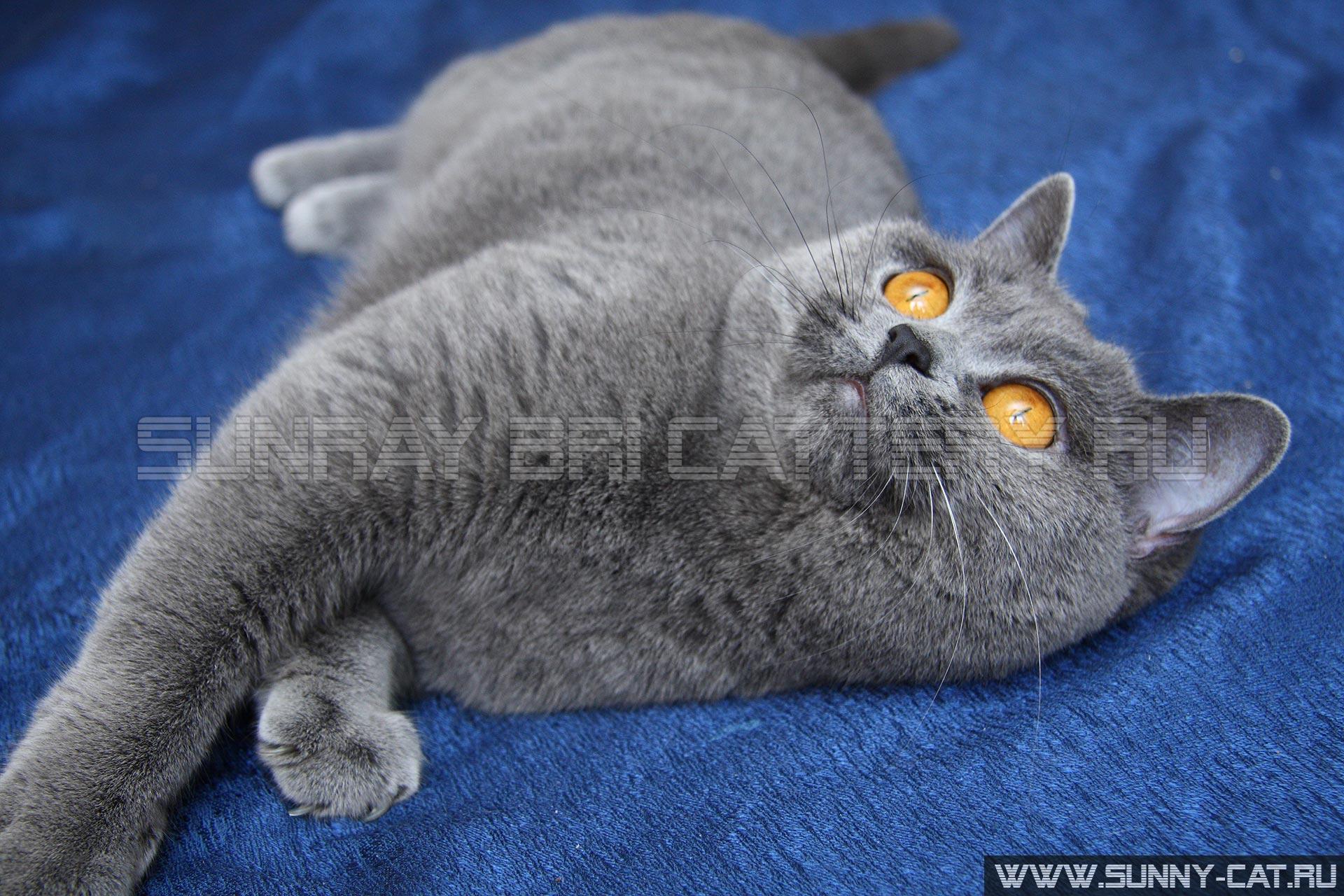 Британская голубая кошка агидель sunray