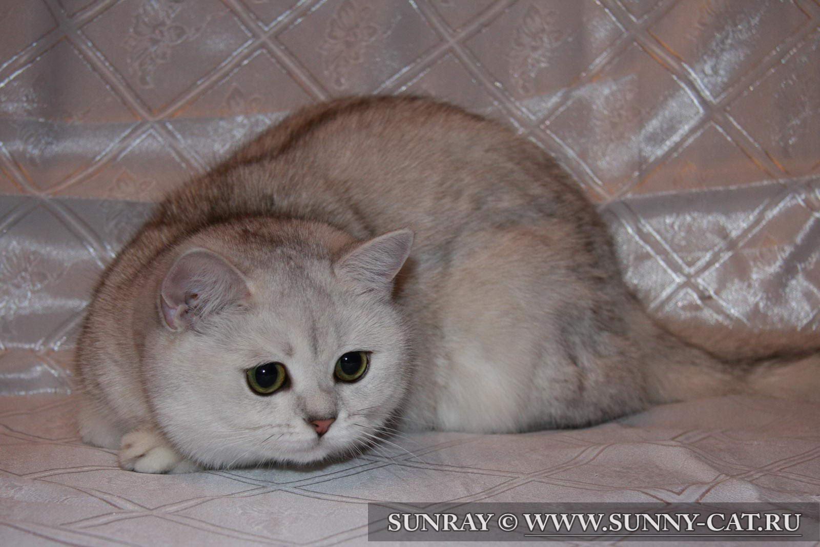Питомник кошек британские кошки