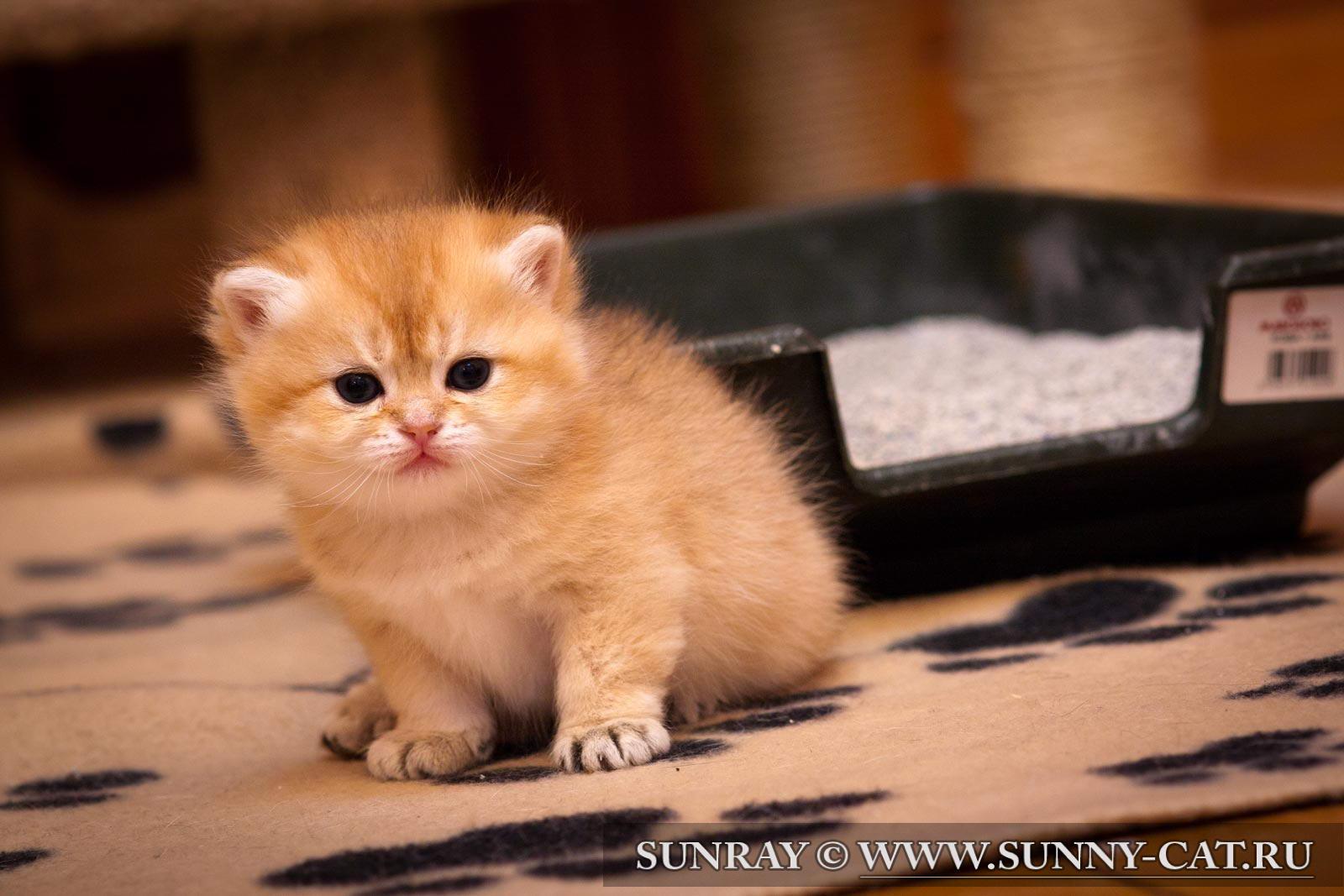 Как приучить котенка к лотку: 8 шагов 65