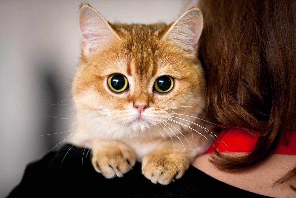 Кот рыжая шиншилла