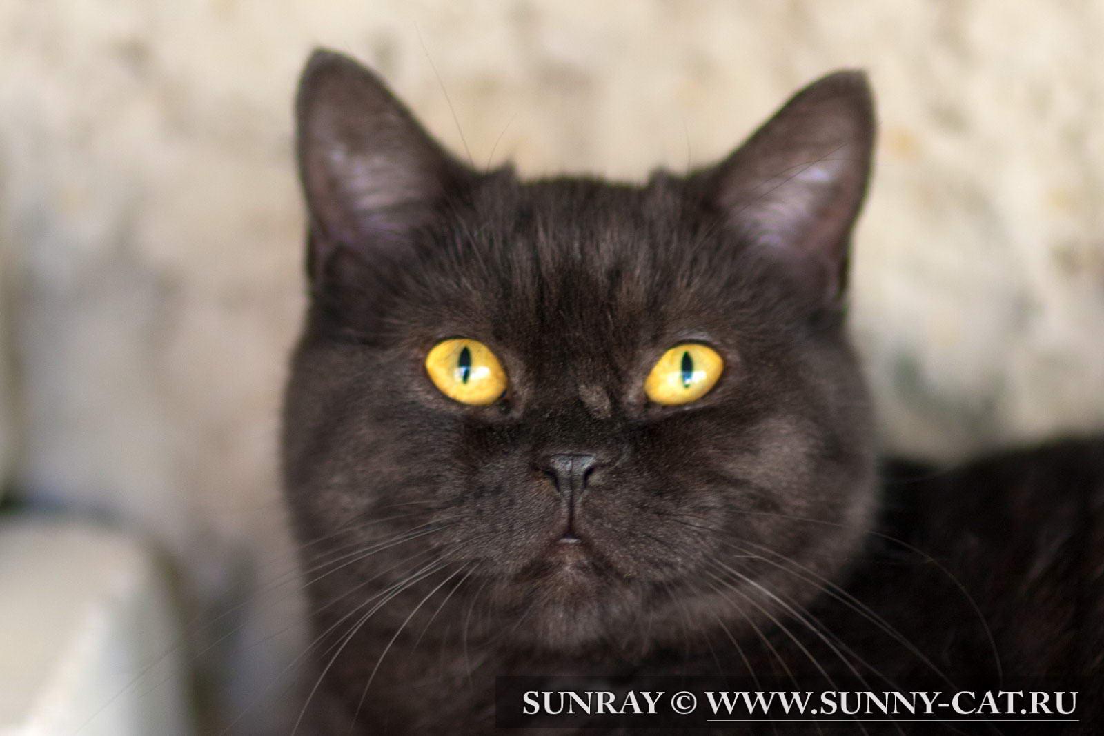 Окрасы британских кошек  BriPortal