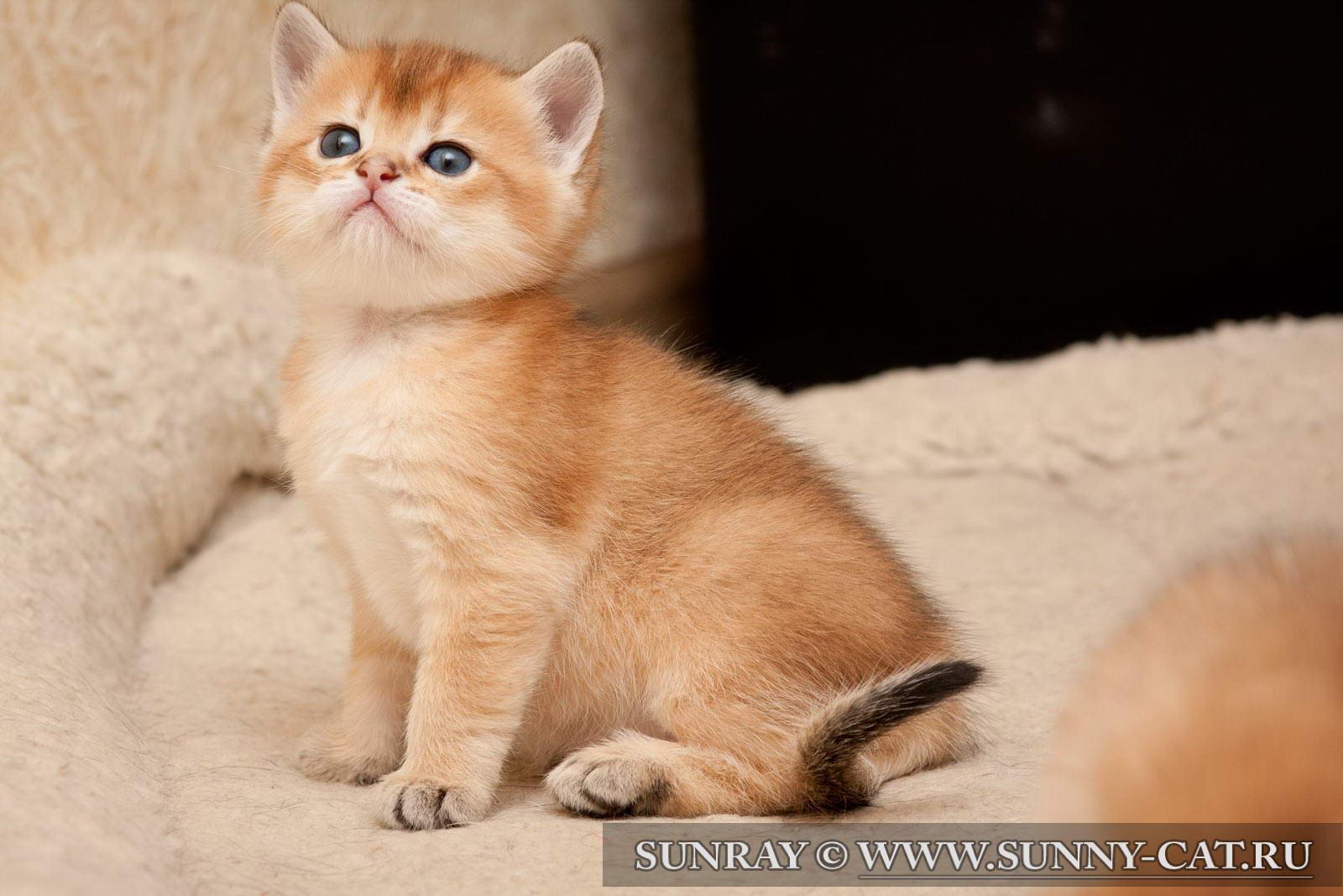 Кот британец рыжий фото