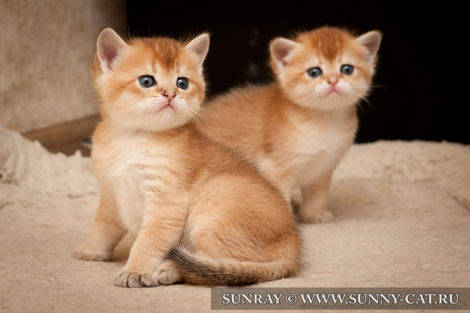 Фото золотые британские котята