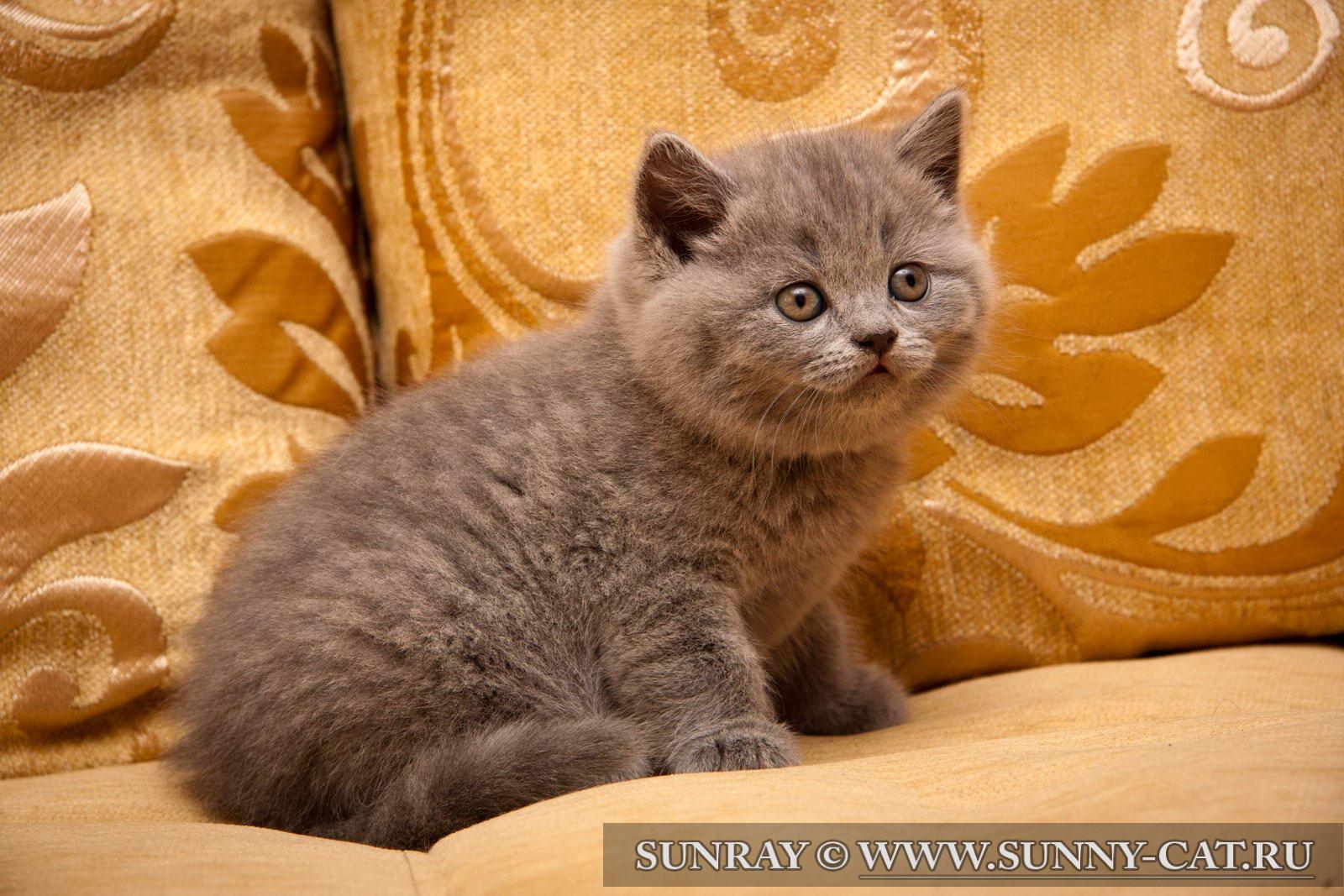 Кот британец смоленск