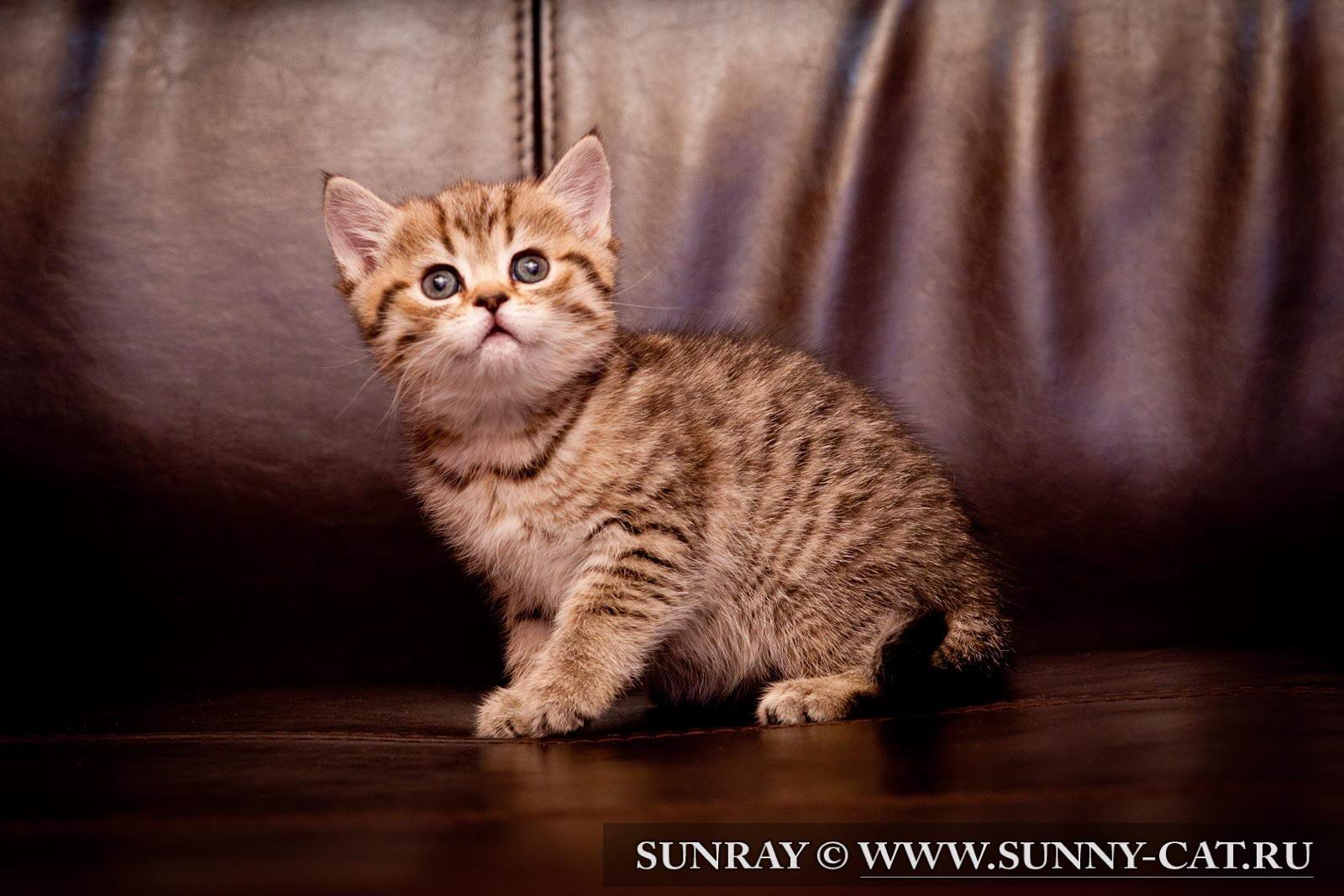 фото котенок британец цена