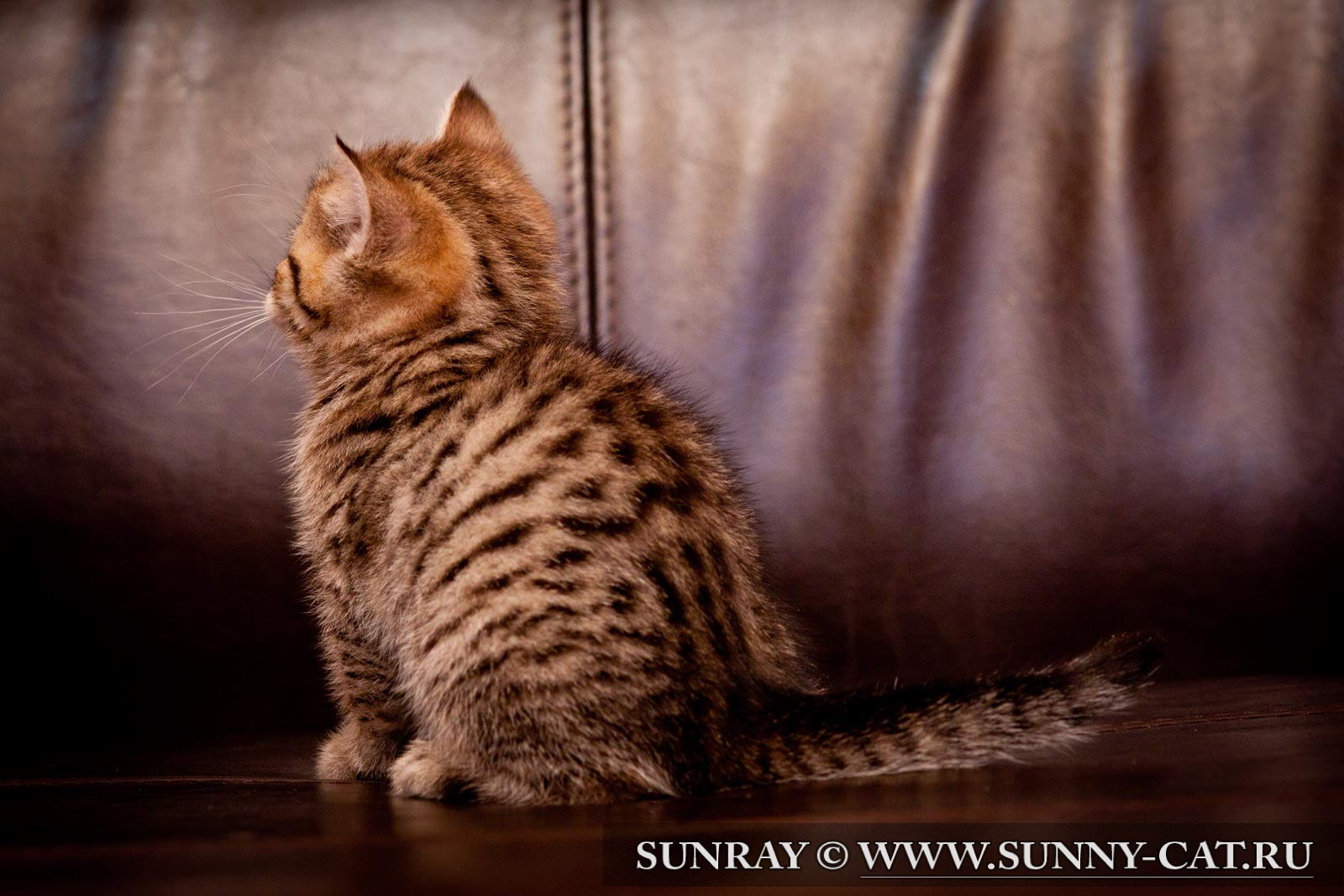 пол британского котенка фото #10