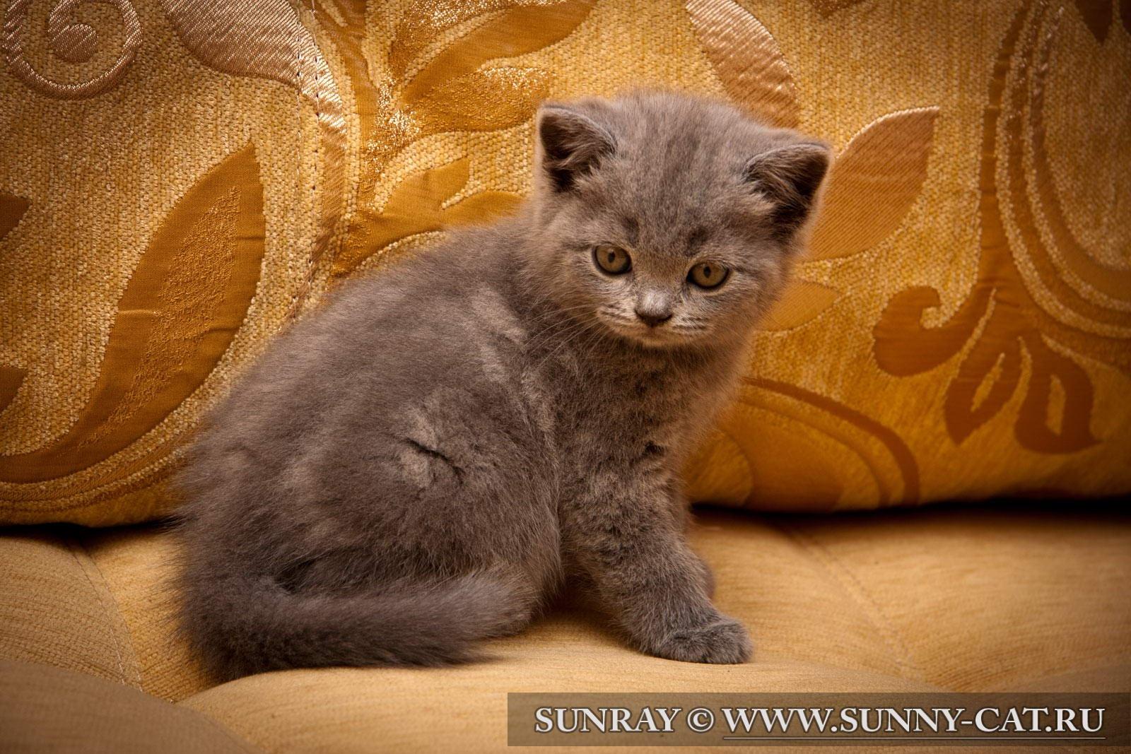 Британские котята коты и кошки : голубые, лиловые ...