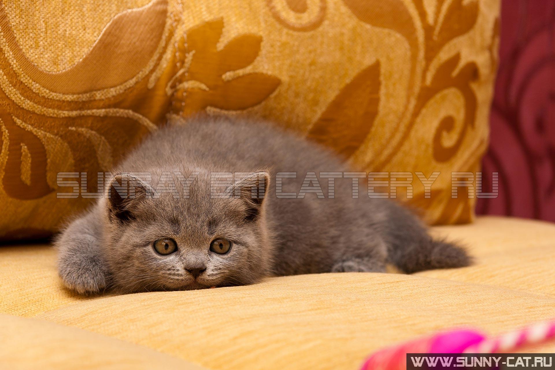 фото котят голубого британца #15