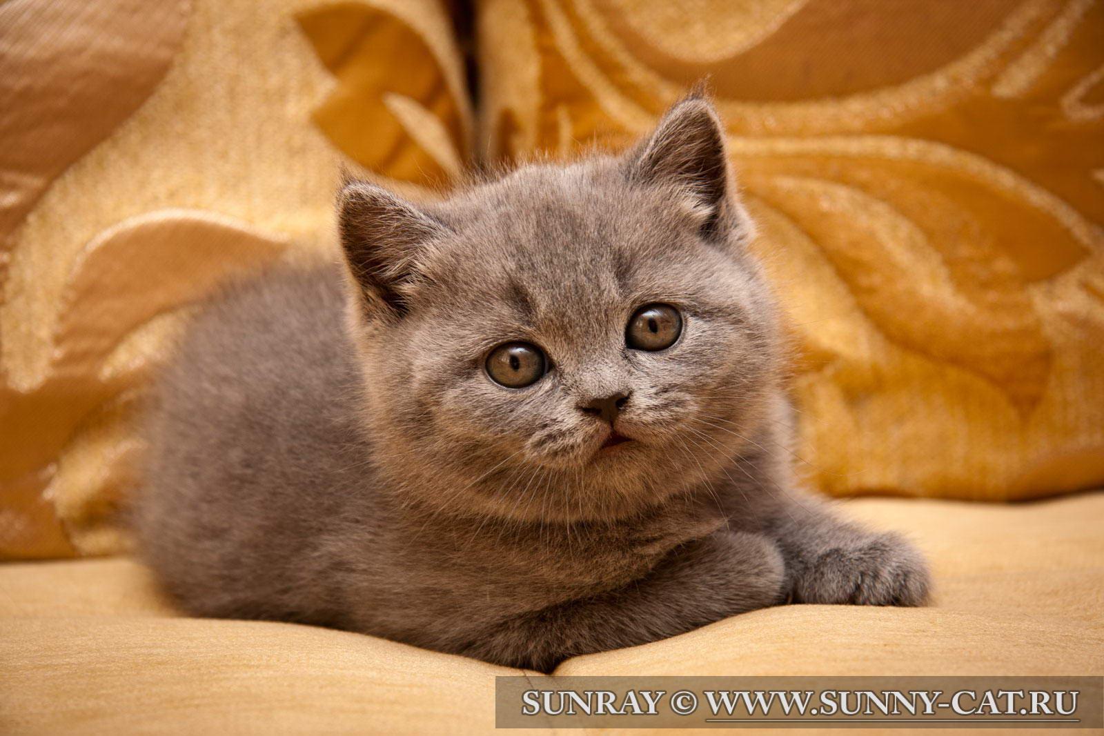 http://www.sunny-cat.ru/datas/users/1-britanskij_kotenok_dominic_sunray_012.jpg