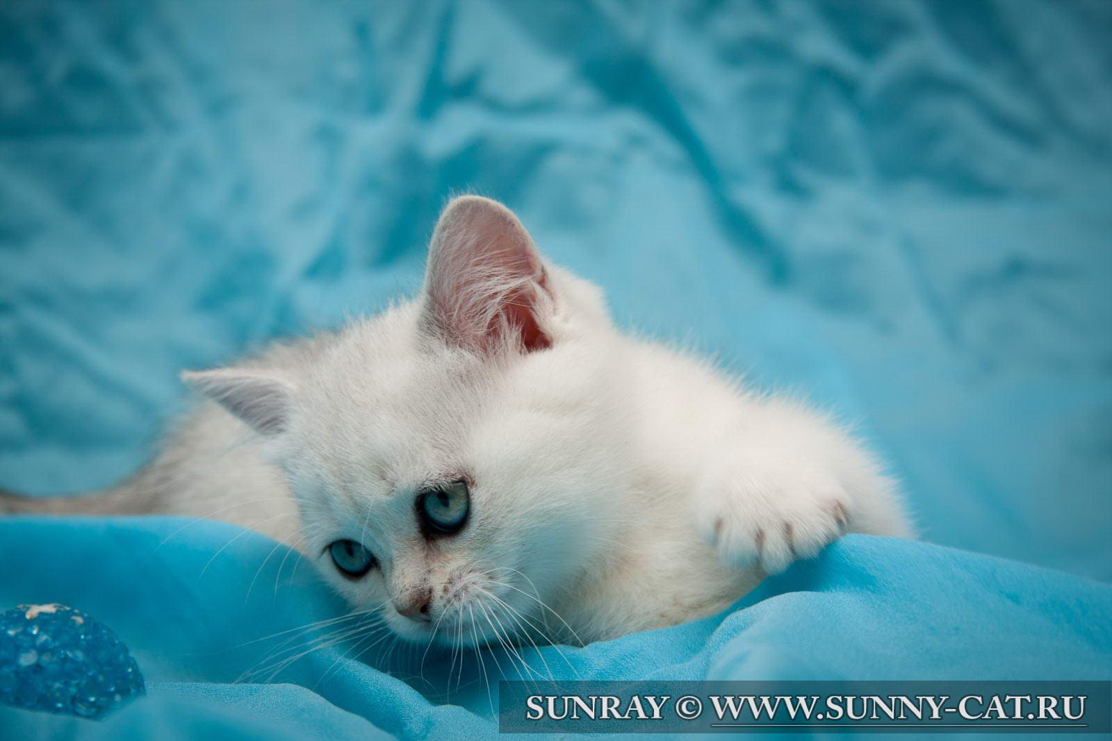 пол британского котенка фото #16