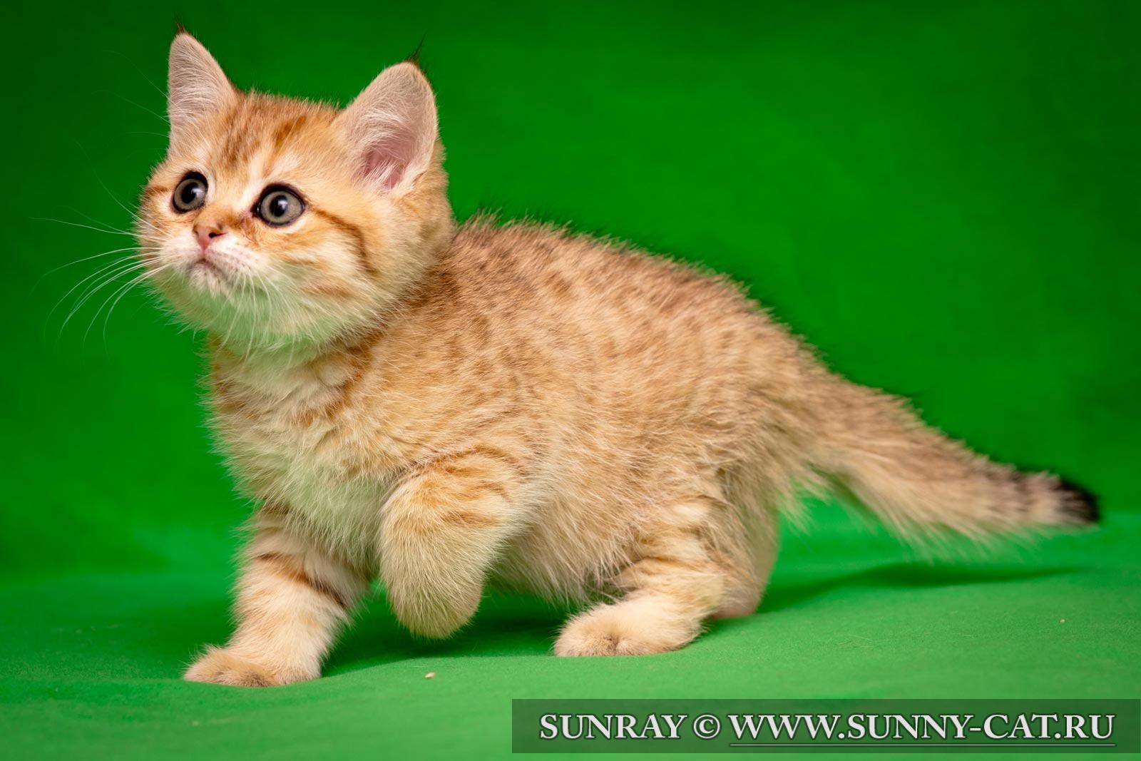 British shorthair kitten Hitman Heart SunRay #584 - SunRay
