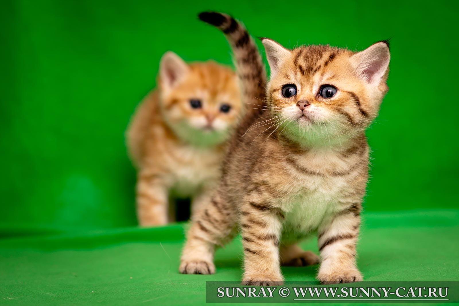 Табби тэбби окрас британской кошки