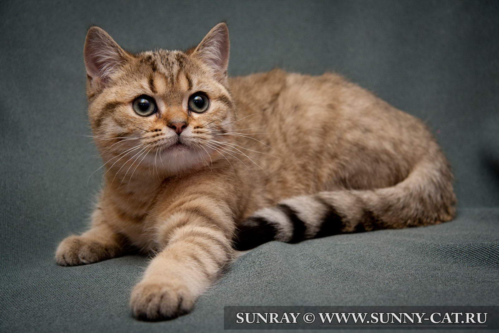 Фото кота британец рыжий