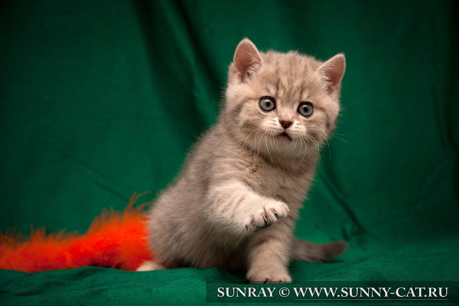 фото котят голубого британца