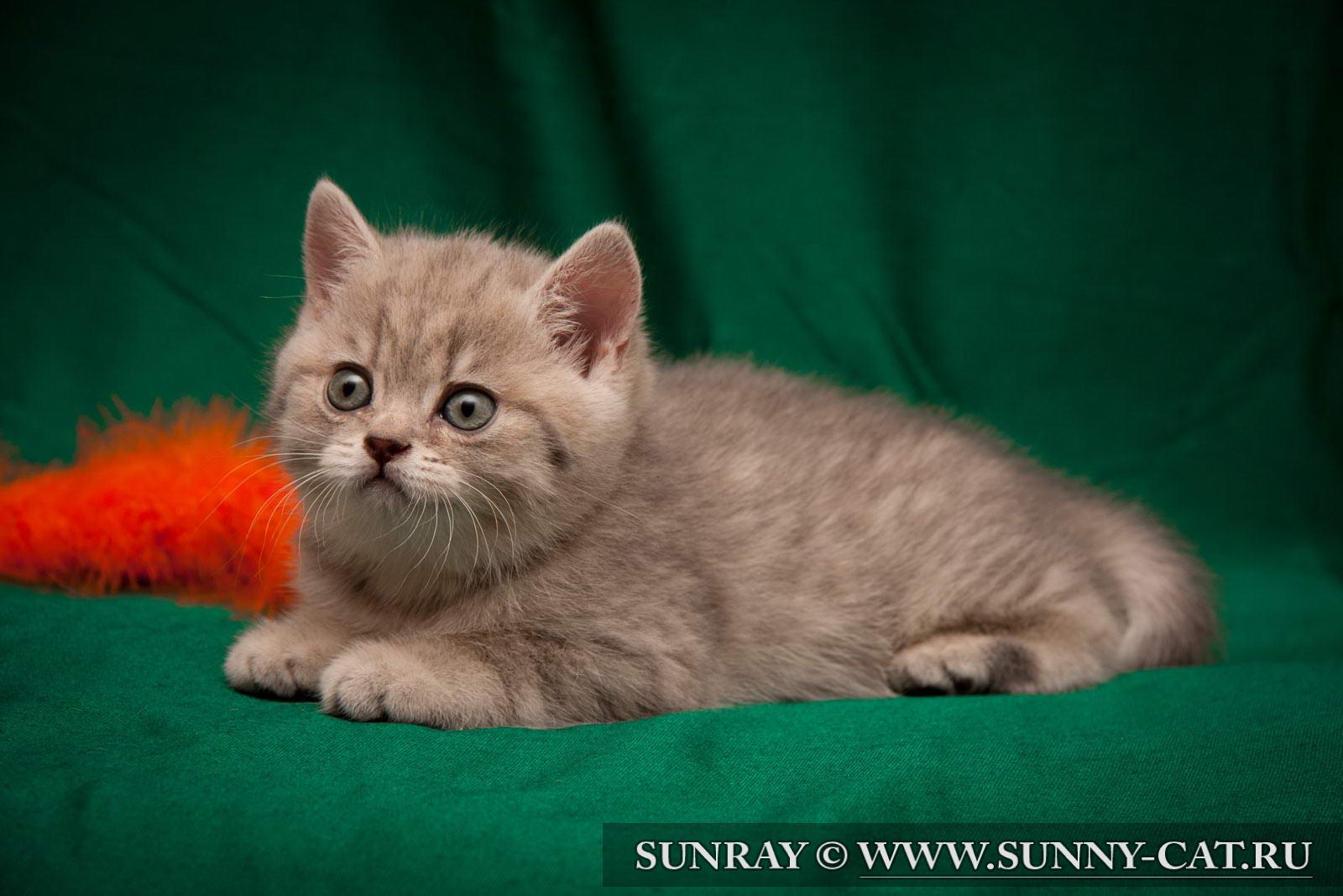 пол британского котенка фото