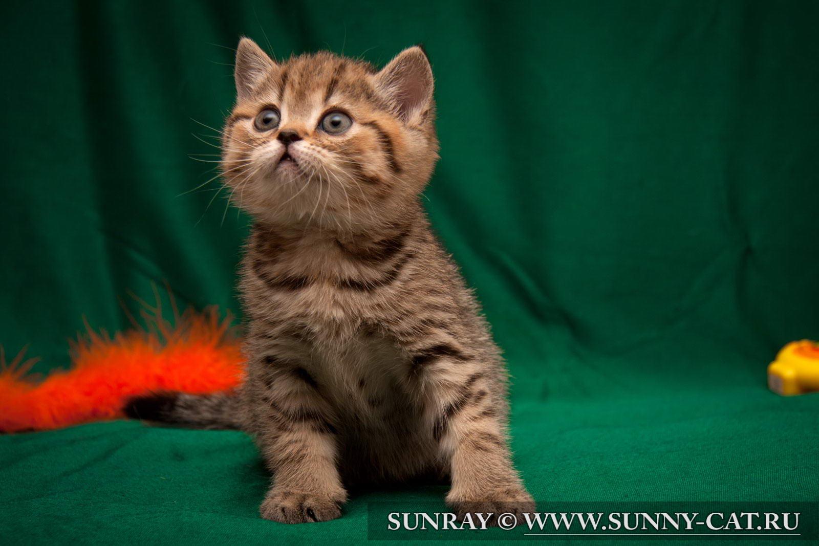 фото британских полосатых и пятнистых котят #12