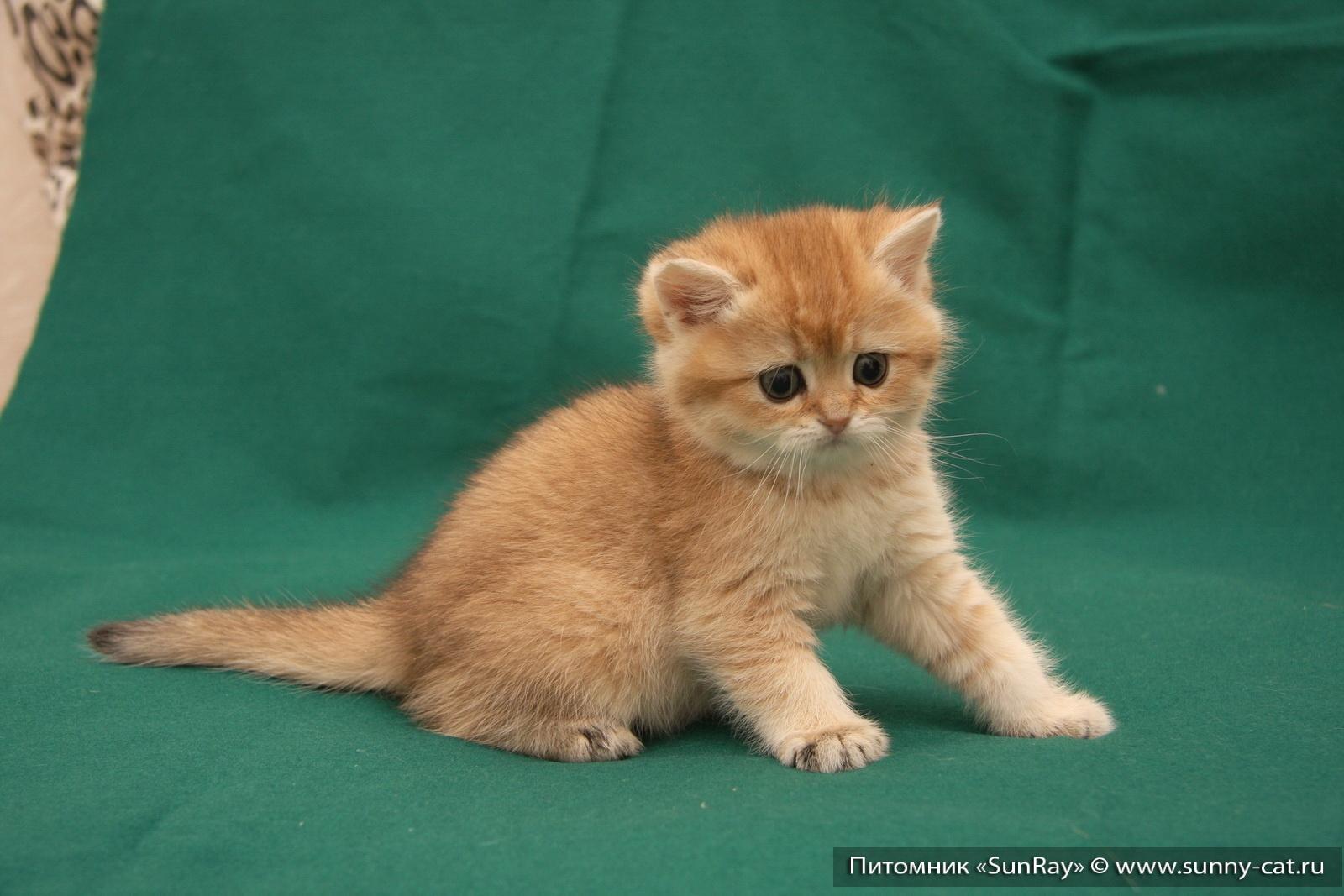 Британская шиншилла кошка Котята британской шиншиллы