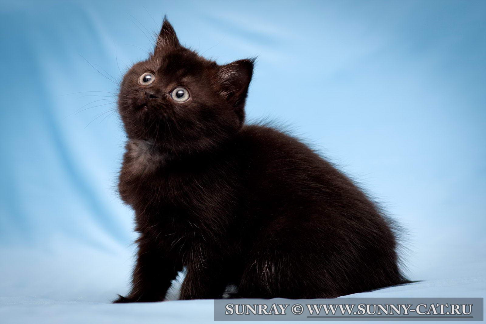 Черный британский вислоухий котенок