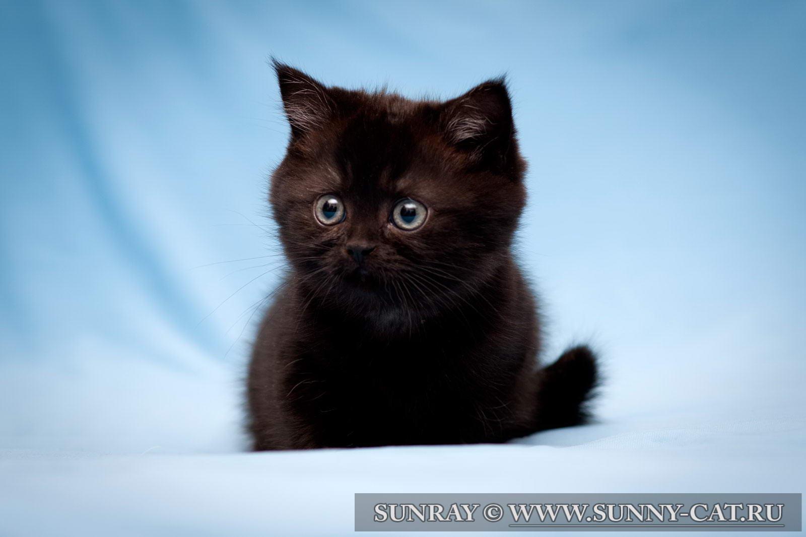 фото британцев котят черных