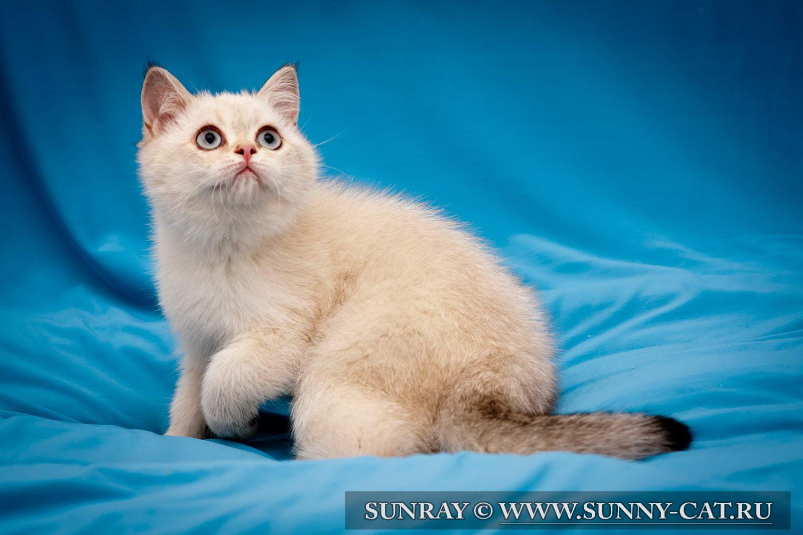британские котята фото колор-поинт