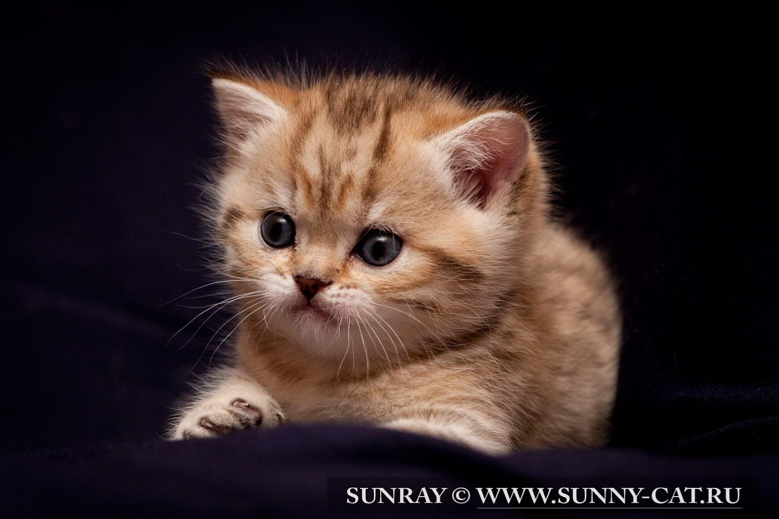 фото британских полосатых и пятнистых котят #6